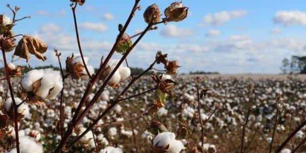 Mengenal dan Membedakan Bahan-Bahan Kaos seperti Cotton Combed, Cotton Bamboo, Cotton Supima, dan Cotton Carded